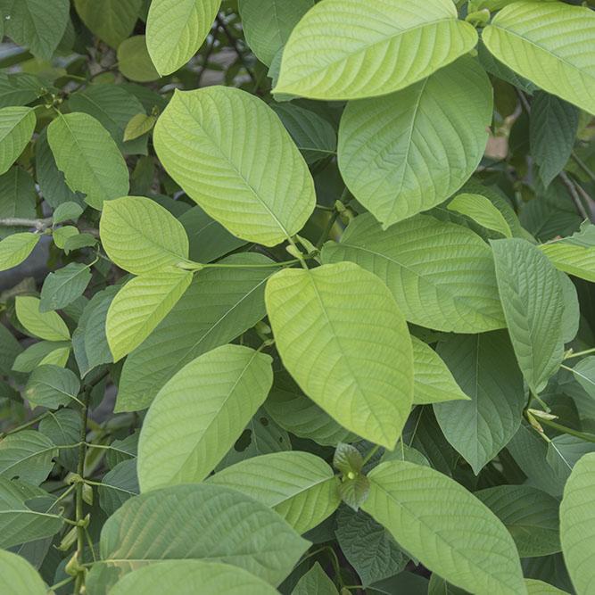 Mitragyna Kratom Plant