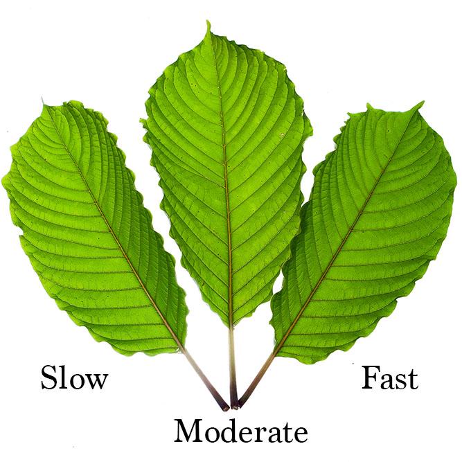 Kratom Speeds, Kratom fast, Kratom slow, Kratom moderate
