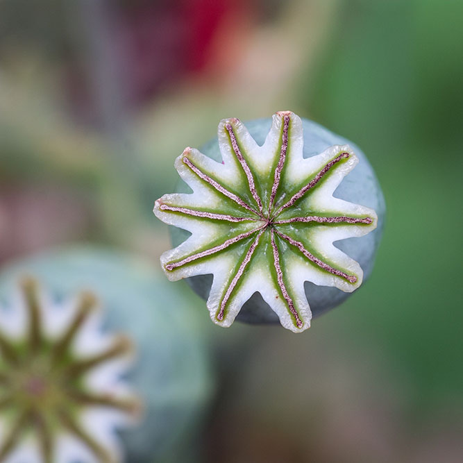 Overhead shot of opium plant