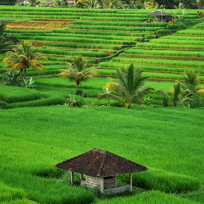 Indonesian Farm