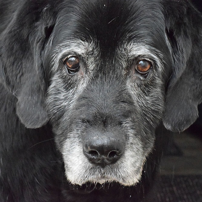 A close-up of an old black labrador retriever with graying hair and brown eyes