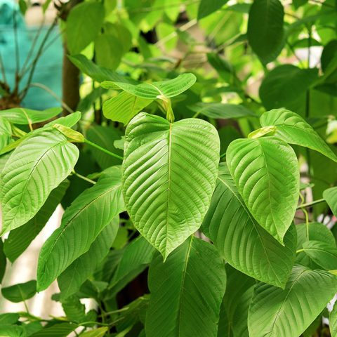 Close-up of the green leaves of mitragyna speciosa, the kratom plant