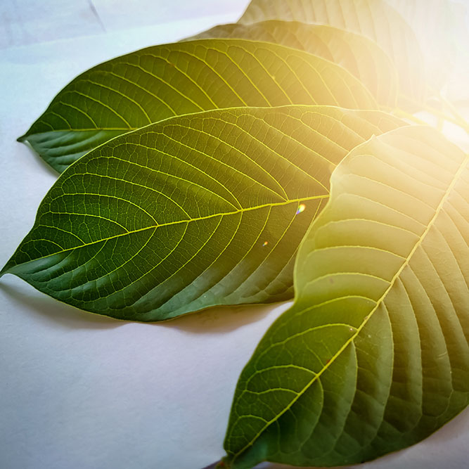 A set of fresh-picked kratom leaves lying on a table, with a heavy glare from the sun reflecting off the surface.